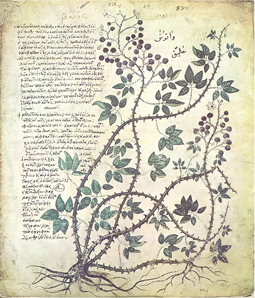 Text describing the uses of medicinal plants with an illustration of European bramble. From Dioscorides