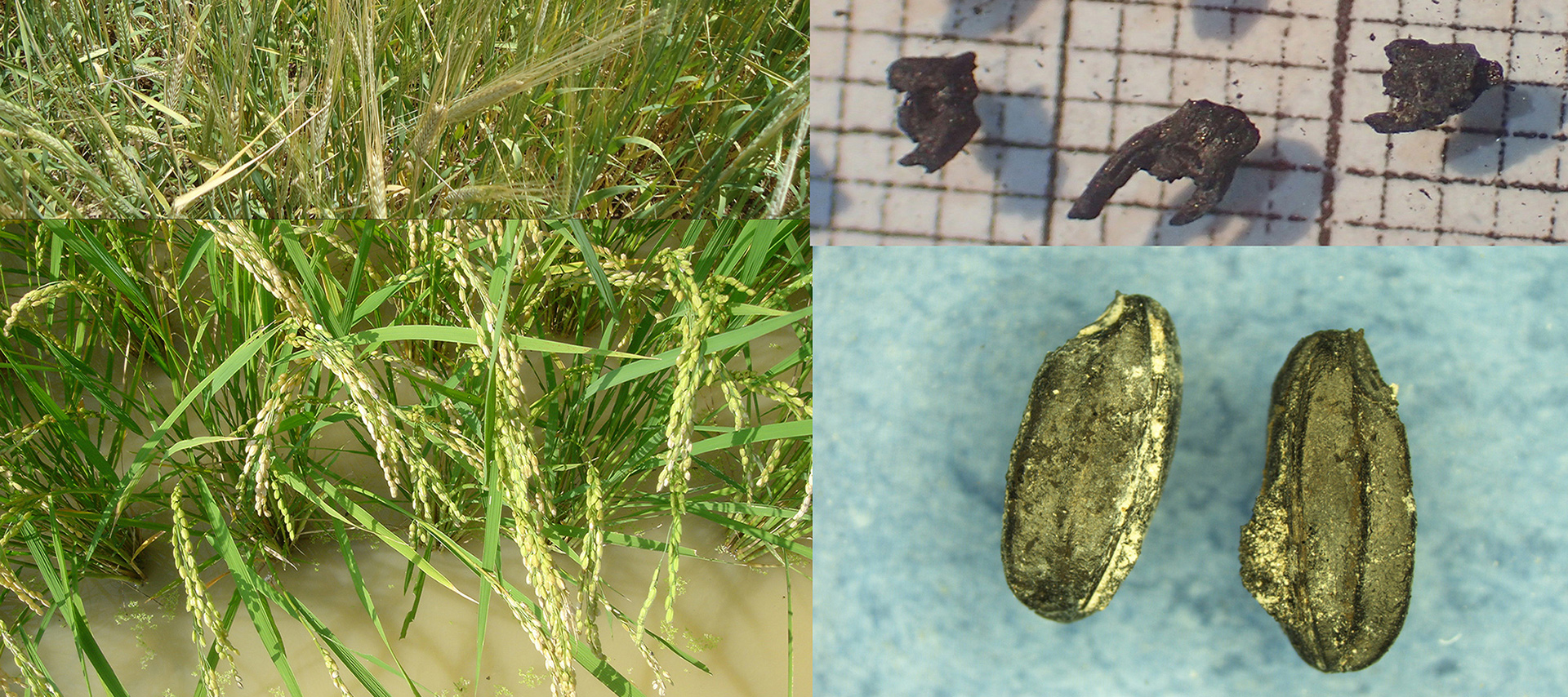 composite image showing grasses and seeds