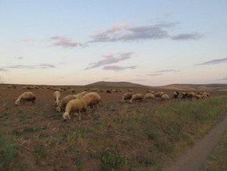 Sheep grazing in Yozgat Province, Turkey.
