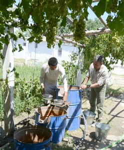 Two men work under a grape arbor, placing metal pans on spouts that protrude from the tops of three barrels of decreasing height.